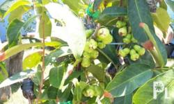 Dwarf marcotted airlayer fruiting macopa fruit