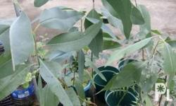 We sell eucalyptus tree Interested. Buyer Pls text your