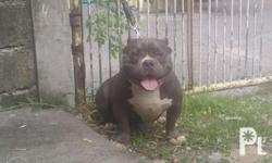 Exotic bully for stud name hublot proven stud import