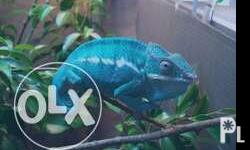 Selling chameleons 2pairs available 3 months old Semi-