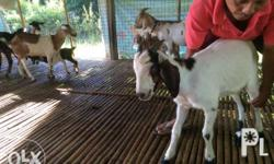 Goat breeders ( Anglo-Nubian ) for Sale in Echague, Cagayan Valley
