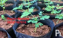 Falcata Seedlings Knee Length one month old ready for