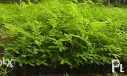 Falcata Seedlings starts at: - P5.00 each - 4 to 6
