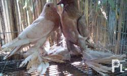 2 months old nestmate Pomerinian Pouter for only 6k