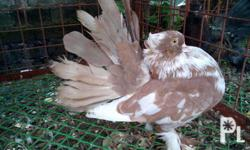 5 months old spares of fantail pigeons for only P400
