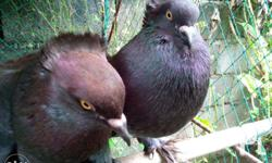 7 months old pair of Fantail Pigeon. Crested and long