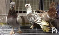 For sale: Fancy pigeons Oriental Frill = P500 each or