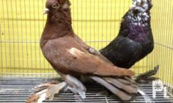 Fancy Pigeon Super Summer Sale: Hungarian giant house