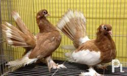 Fancy Pigeon Super Summer Sale: Russian volga For only