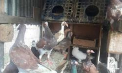 For Sale Good Line Pigeons Englis Carrier, Homer,
