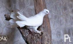 Fantail Pigeon picture shown is for reference only Php