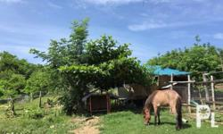 Farm horse Anglo american breed Female Ready to breed
