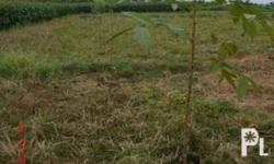 FOR SALE: Farm Lot 2,500sqm. P2,200,000 Banaoang,