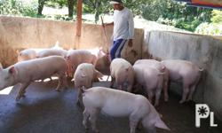 15 heads fattener pig, breed of landrace white,