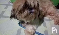 Female Shih tzu Pure breed Proven once 4 puppies 2 yrs