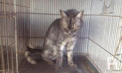 Female American Short Hair 2 yrs old Sta rosa or nearby