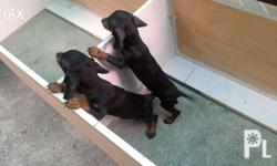 Quality Female dachshund puppy 1 left! Dob: Nov. 4