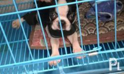 For sale! :Female Boston Terrier puppy Dob: May 6 2017