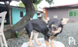 For Sale Female Chihuahua Black Tan Color No papers