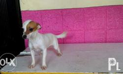 Super Cute FEMALE Chihuahua puppies for Sale at very