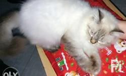 Pure breed himalayan crossbreed persian cat for sale