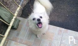 Im selling my female japanese spitz. 1year and 2months