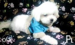 Female. Teacup Size 2. MOS OLD Bright White Color