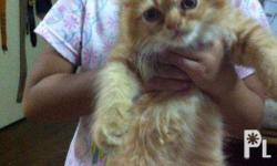 Our beloved female persian kittens are now ready for