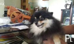 2yrs old color black tan with papers complete vaccine