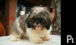 ADULT FEMALE SHIH TZU FOR ONLY 5000 Short snout With
