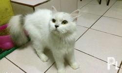 Female White with black combi Persian cat 8 months old