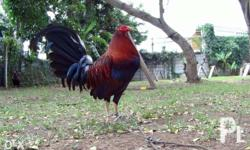 FOR SALE FIGHTING COCKS BLOODLINES: PURE melsimms