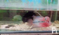 Selling my 16 months old playful FLOWER HORN with fish