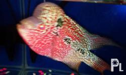 For sale flowerhorn fish 5 inches very aggressive,no