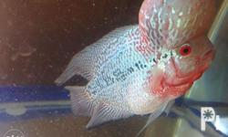 Flowerhorn Thailand Import Pearly Scale Massive Kok