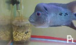 Male flowerhorns 7 to 8 inches tip to tip hardkok,