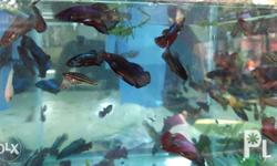 available 200 betta contact:09093000327