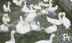 Available: ducklings Medium size Breeder Duck eggs and