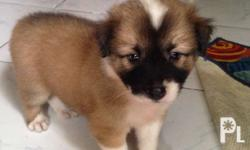 *Male *1 and half months *Tri color (brown, white,