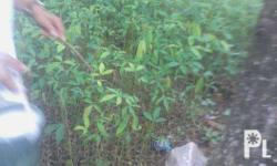 Available: Rubber seedlings Prices: Price starts at