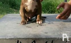 Pocket American bully male 3months old.. No papers.