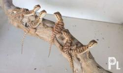For sale bearded dragon hatchling Date of hatch