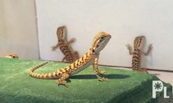 For sale bearded dragon Parents tiger red normal scale