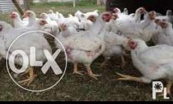 for sale broiler chicken