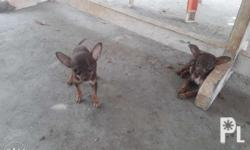 For sale chihuahua puppies 2months and 19days old with