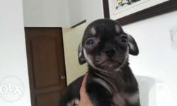 For sale smooth coat female chihuahua