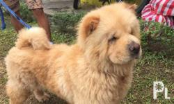 For sale female chow chow bear type Near heat For more