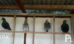 Racing pigeon 500 and up Dubia roach medium 5.00