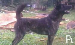 ( IED Detection Trained ) Dutch Shepherd