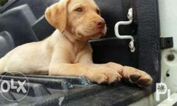 for sale labrador puppy female wth 2shot vcne updted